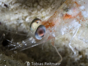 Velvet shrimp at night at Barracuda Shoal, Exumas by Tobias Reitmayr